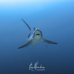 Pelagic Thresher Shark (Alopias pelagicus) by Jan Wouters
